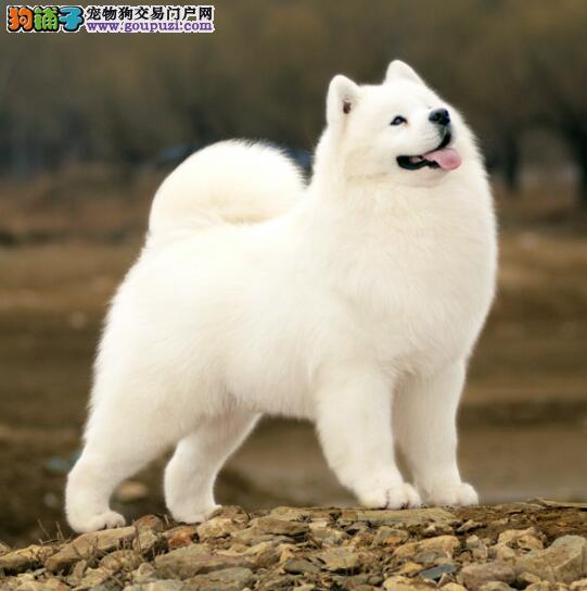 萨摩耶犬的价格与出售地点的关系