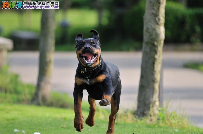 犬种特点揭秘 罗威纳犬的能力分析