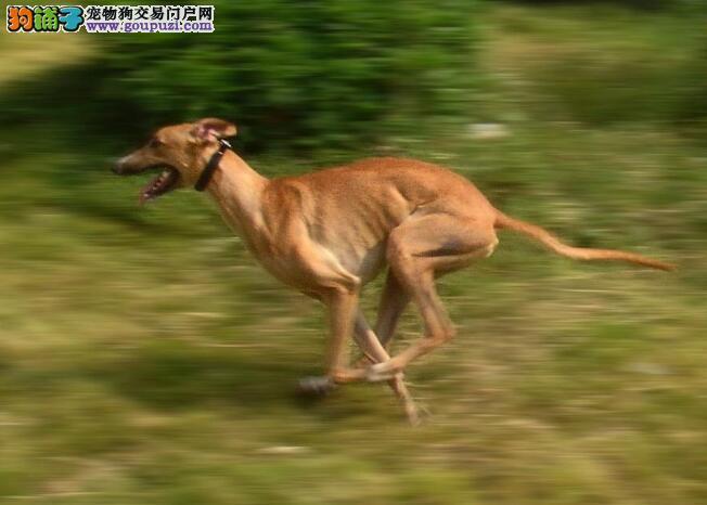 详细的说一说格力犬的特点是怎样的
