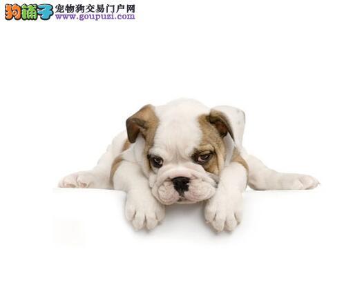 挑选优秀犬 如何判断斗牛犬是否失格