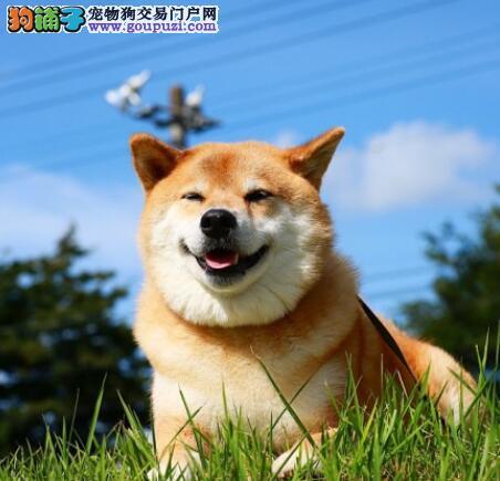 盘点秋田犬的性格特征与挑选的方法