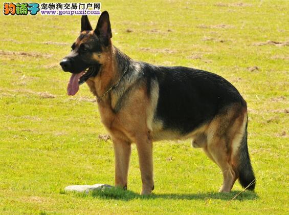 详细解说德国牧羊犬的品种特点