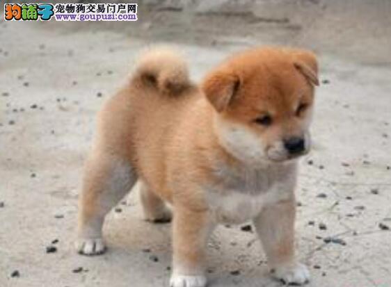 秋田犬的形态特征与性格特点对选购的影响