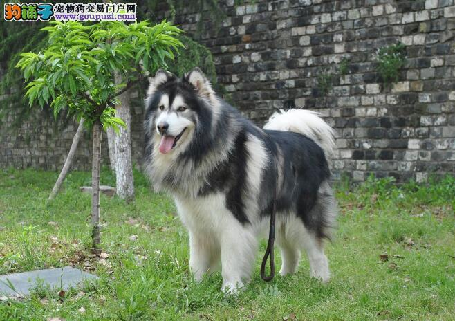 从AKC标准方面区分阿拉斯加雪橇犬与哈士奇的不同