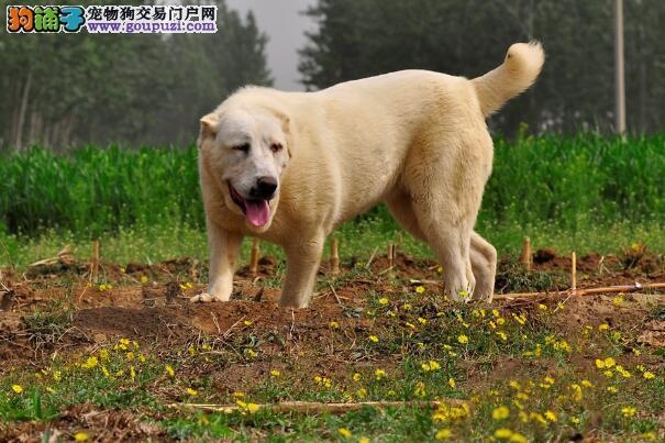 详细叙述中亚牧羊犬的身体部位特征