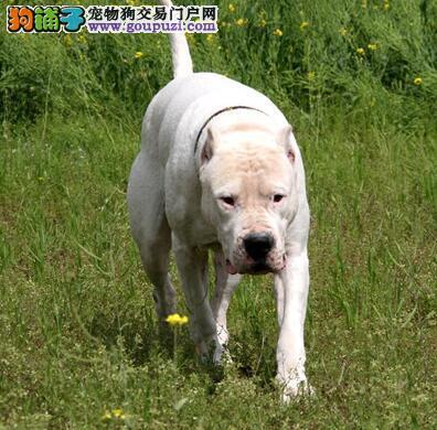 选狗要考虑的那点事儿 杜高犬的犬种特点