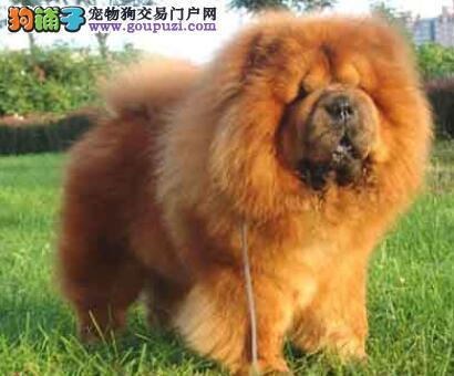 负责任的告诉你松狮犬的品种标准具有怎样的特点