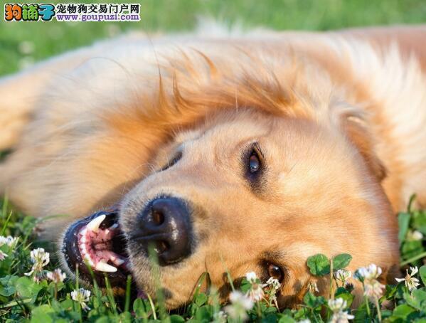 金毛犬的整体外貌与品种的优秀性