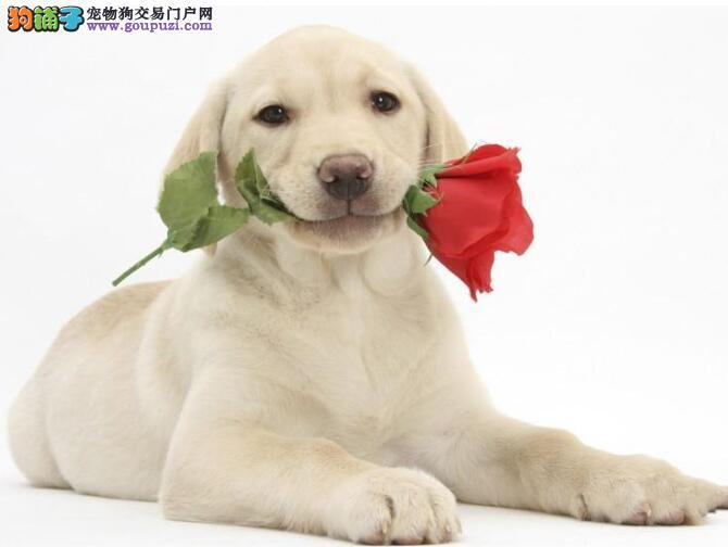 拉布拉多犬的总体特征给人的感觉是怎样的