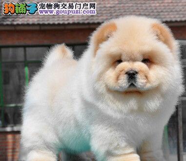 购买松狮犬需要看狗狗的外形特点