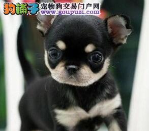 天津繁殖基地售超可爱小型犬 墨西哥苹果头吉娃娃