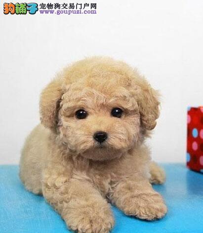 天津出售泰迪犬颜色齐全公母都有专业品质一流