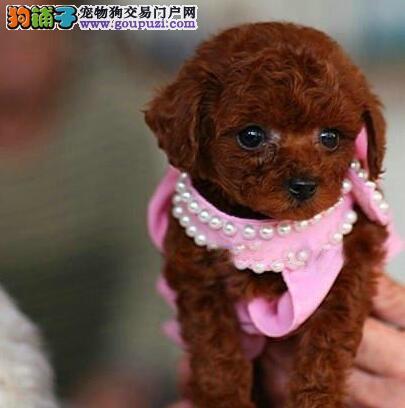 优惠促销极品贵宾犬品种齐全西安附近购买可送用品