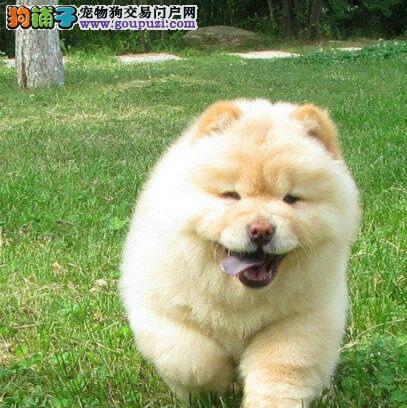 出售血统正宗的西安松狮犬保纯保健康签购买协议4