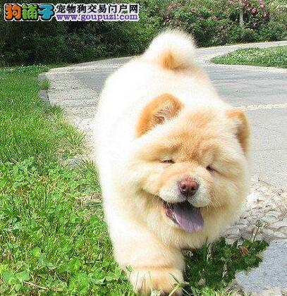 纯种松狮犬的被毛特点是什么样子的