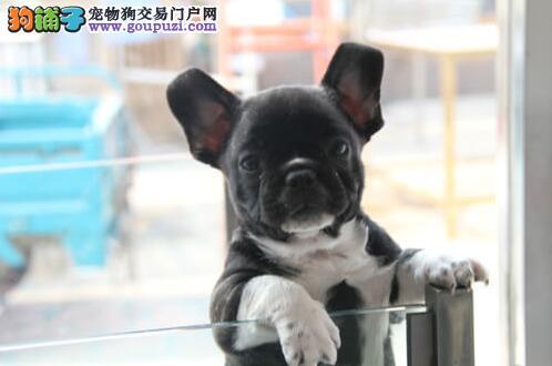 杭州热销法国斗牛犬颜色齐全可见父母血统证书芯片齐全