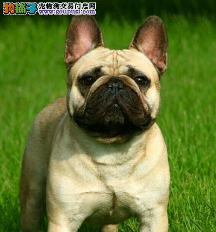 专业繁殖法国斗牛犬,英国斗牛犬纯种健康可见父母