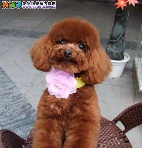 特价直销韩系贵宾犬 欢迎来长沙犬舍上门挑选