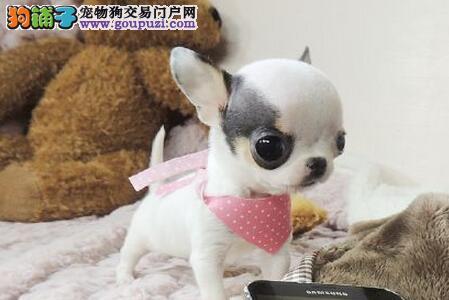 颜色齐全品相极佳的太原吉娃娃幼犬找新家 欲购从速