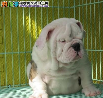 武汉养殖场出售好品相斗牛犬包纯种包养活可签合同