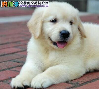 广州帅气金毛犬 有型有风度 会摆酷会讨巧 可上门挑选