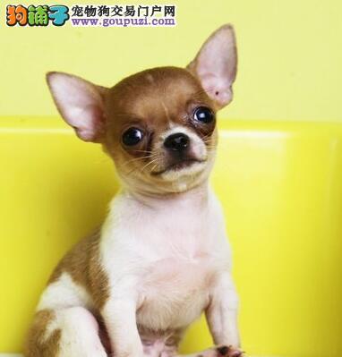 武汉正规犬舍出售纯种吉娃娃品种齐全欢迎选购