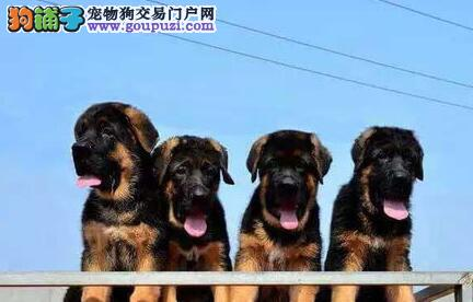 北京繁殖基地出售纯种健康德牧幼犬质保三年