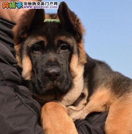 西安繁育基地出售德国牧羊犬疫苗已注射可签售后2