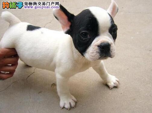 转让螺旋尾巴的南昌斗牛犬 建议大家上门选择看种犬