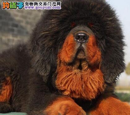直销纯种血统的郑州藏獒证书齐全公母都有