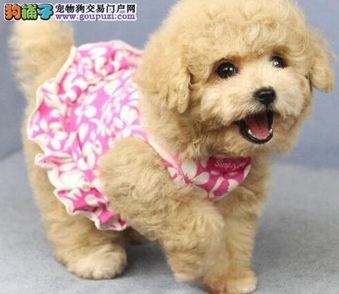 自家繁殖多只纯种贵宾犬促销中郑州地区购买送狗粮