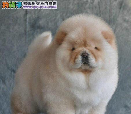 憨厚可爱肉乎乎的松狮宝宝 湖州正版纯种松狮犬出售