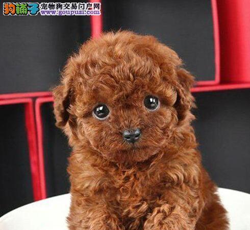 呼和浩特专业繁殖出售贵宾犬玩具型贵宾健康纯种可来看