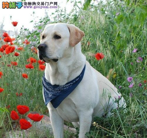 福州拉布拉多犬聪明纯种毛短温顺黑色黄色咖啡色都有