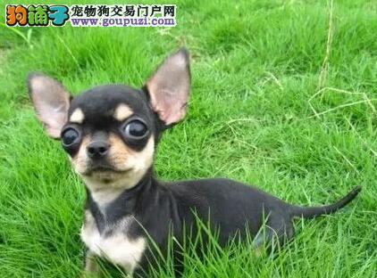 天津大型犬舍低价热卖极品吉娃娃支持全国空运发货3
