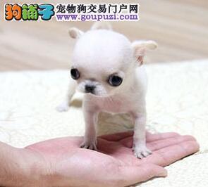 天津大型犬舍低价热卖极品吉娃娃支持全国空运发货2