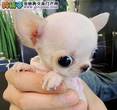 天津大型犬舍低价热卖极品吉娃娃支持全国空运发货4