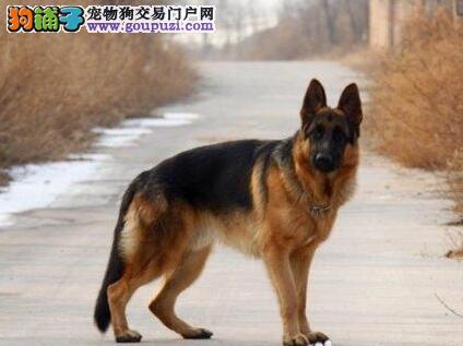 纯种弓背德国牧羊犬郑州直销 健康血统 上门挑选签协议