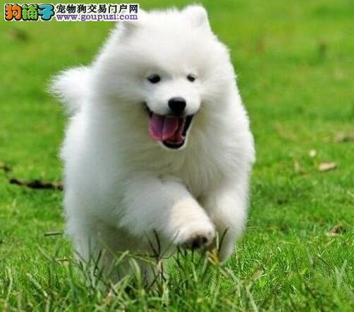 出售自家繁殖白色微笑萨摩耶幼犬公母都有多只可选