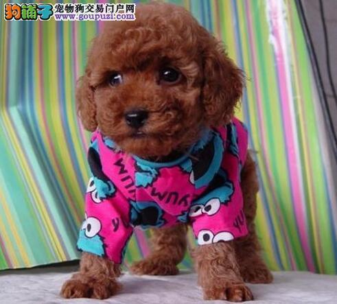 广州出售泰迪犬 纯种健康茶杯泰迪幼犬签协议可见父母1