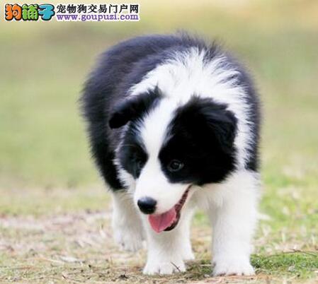 保纯保健康边境牧羊犬北京售疫苗驱虫均已做可签协议