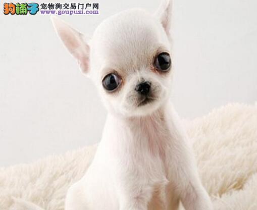 迷你可爱吉娃娃宠物狗 多只可选 赛级品质 买狗送宠物用品