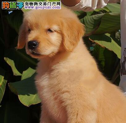 南京骨架大毛色佳金毛犬居家聪明温顺金毛导盲犬纯种