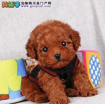 沈阳纯种泰迪熊诚信出售 包健康半年包养活送用品