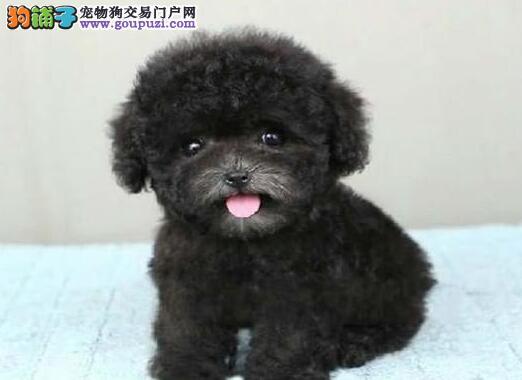 乌鲁木齐家庭繁殖精品泰迪幼犬棕色黑色巧克力色泰迪犬