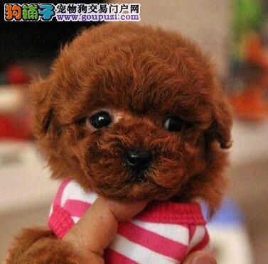 太原狗场直销品相好的泰迪犬保证健康签售后
