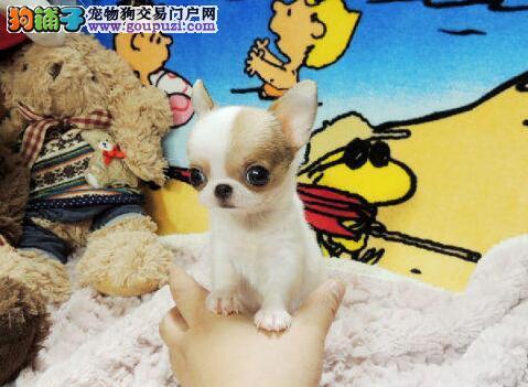廊坊世界最小茶杯犬墨西哥吉娃娃苹果头鲨鱼头包活可选