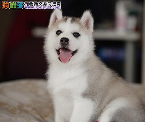 多种颜色的赛级哈士奇幼犬寻找主人签订三包合同