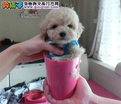 纯种茶杯 小型玩具泰迪熊福州可免费送货 可签协