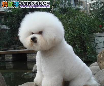 阳江出售纯种比熊犬 棉花糖 白色粉扑出售中